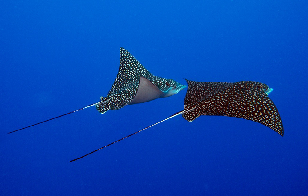 Eagle Rays Cayman Islands